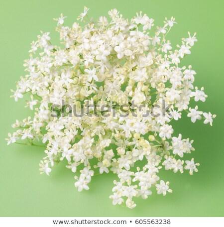 Flowers of sureau Stock photo © xedos45