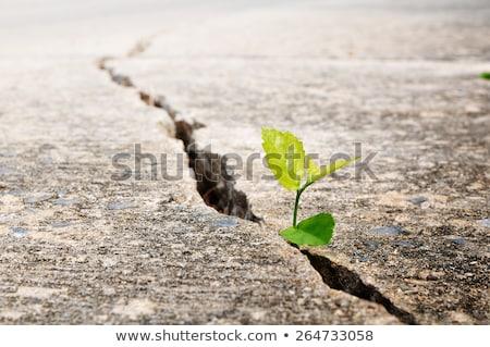 Yeşil bitki büyüyen kırık toprak yeni hayat Stok fotoğraf © REDPIXEL