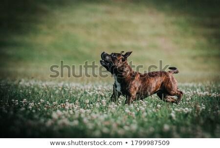 Skoki byka terier portret szkolenia posłuszeństwo Zdjęcia stock © cynoclub