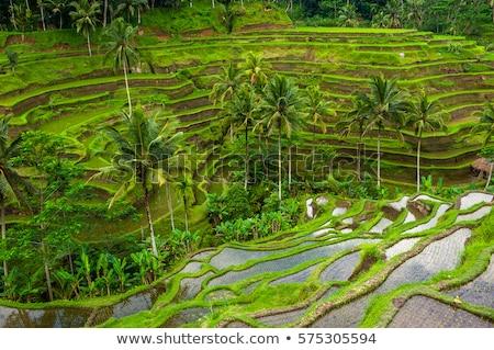 balinese rice terrace Stock photo © yuliang11