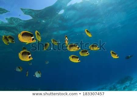 Threadfin butterflyfish in the Red Sea. Stock photo © stephankerkhofs