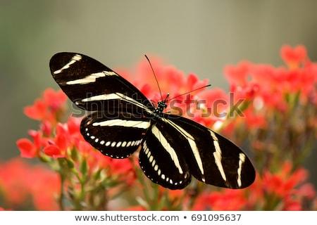 Zebra Longwing Butterfly Stock photo © cboswell