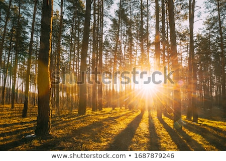 sunset woods stock photo © thp