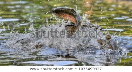 Regenboog forel illustratie springen uit water Stockfoto © ThomasAmby