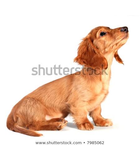 teckel · hond · portret - stockfoto © melpomene