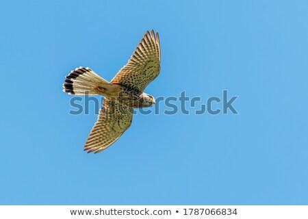 Falco tinnunculus-falcon Stock photo © Vectorex