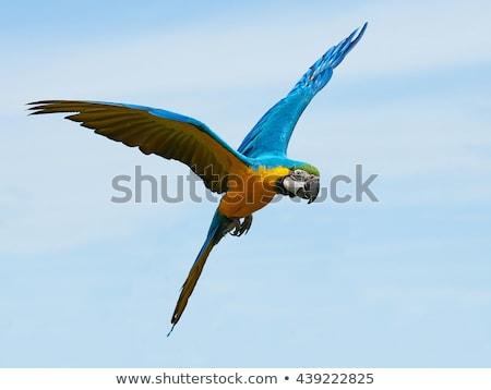 Blue and yellow Macaw, Ara ararauna Stock photo © Arrxxx