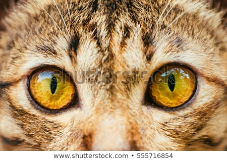 Orange chat yeux museau oeil Photo stock © deyangeorgiev