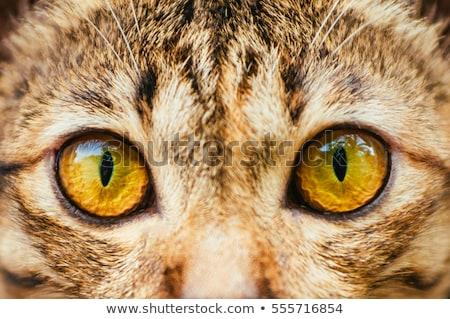 orange cat close up eyes stock photo © deyangeorgiev