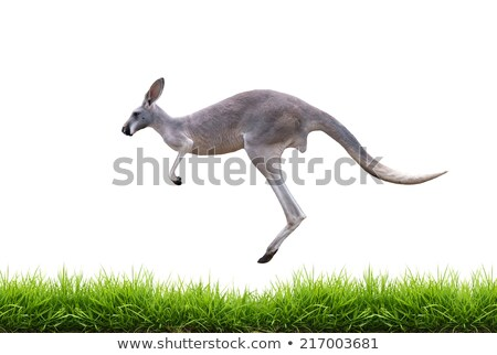 grey kangaroo with green grass isolated Stock photo © anan