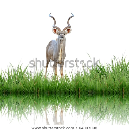 male greater kudu with green grass isolated Stock photo © anan