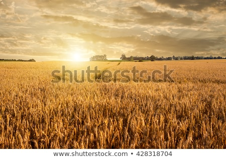 wheat field with tractor tracks stock photo © tepic