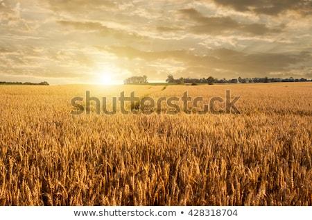 traktor · búzamező · mély · látható · kép · választ - stock fotó © tepic