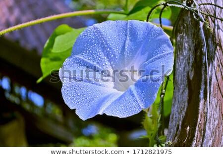 çiçek sabah çiy detay güzel mavi çiçek Stok fotoğraf © ondrej83