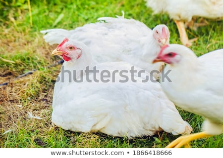 white chicken looking on the right stock photo © vetdoctor