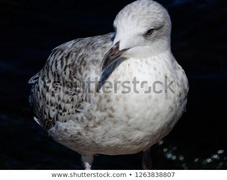 Jóvenes gaviota vuelo lago cielo agua Foto stock © digoarpi
