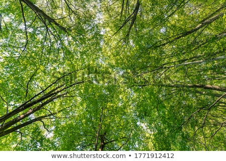 Dense beech tree forest Stock photo © elxeneize