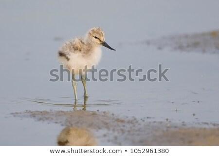 Chick agua primavera aves potable Holanda Foto stock © ivonnewierink