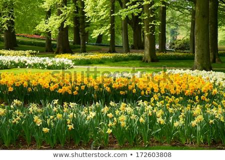 Holanda tulipanes narcisos campo brillante rojo Foto stock © neirfy