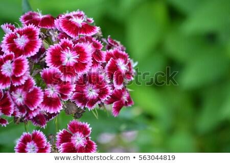 Dianthus Barbatus flower closeup Stock photo © haraldmuc