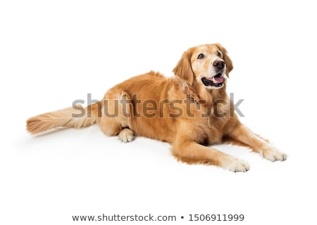 dog lying down stock photo © lightsource