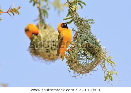Masked Weaver Bird Stock photo © fouroaks