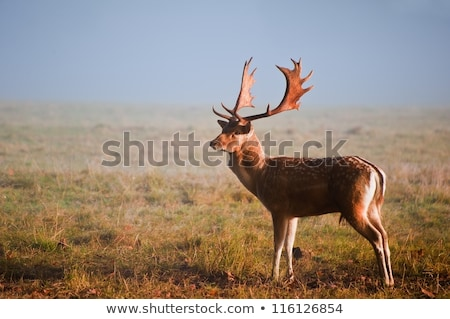 Cerfs buck misty matin herbe arbres Photo stock © taviphoto