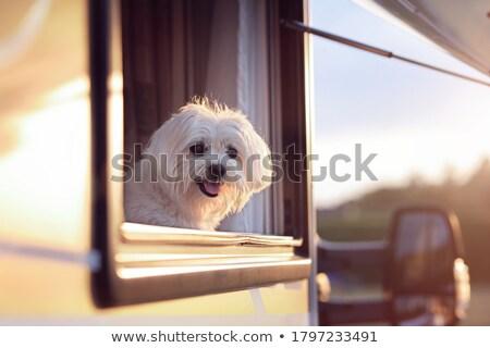 Dog at campsite Stock photo © ivonnewierink