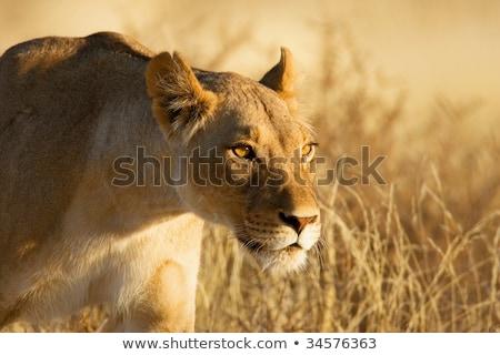 Сток-фото: очистки · лапа · саванна · ЮАР · природы · рот
