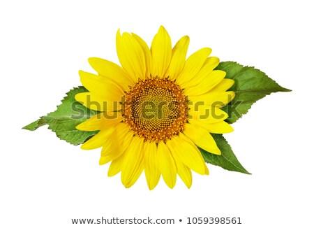 Small Sunflower with Leafs Stock photo © zhekos