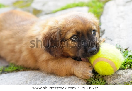 small brown puppy old only few weeks is playing with ball stock photo © hamik