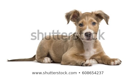 Mixed breed dog lying and looking in a white background Stock photo © vauvau