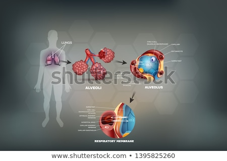 Respiratory membrane of alveolus Stock photo © Tefi