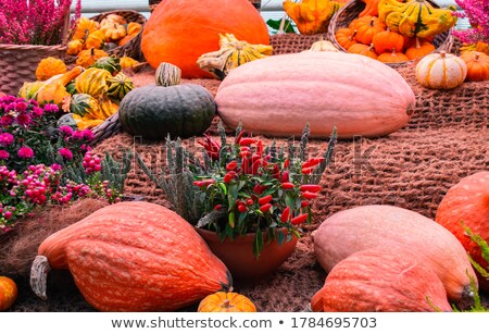 thanksgiving decor with snowberry pumpkin yellow squash stock photo © tasipas