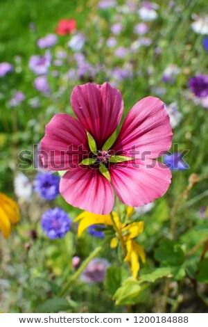 ピンク 花 咲く 活気のある 花壇 夏 ストックフォト © sarahdoow