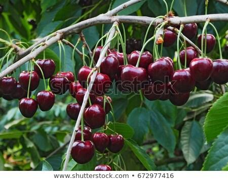 Kırmızı kiraz ağaç bahar gıda yeşil Stok fotoğraf © digoarpi