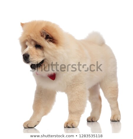 chow chow with bowtie steps to side and looks down Stock photo © feedough