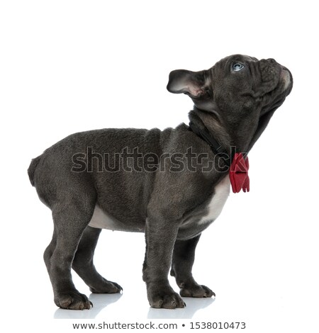 curious american bully wearing red bowtie looks to side Stock photo © feedough