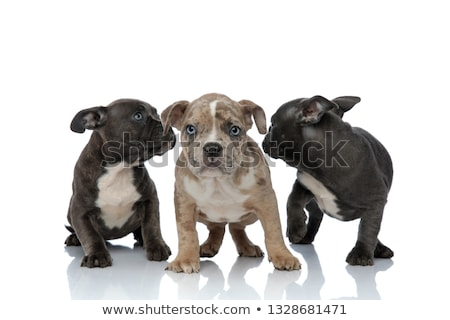 3 American bully dogs laying and standing together looking away Stock photo © feedough