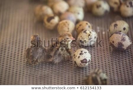 Baby macaw hatching egg Stock photo © colematt