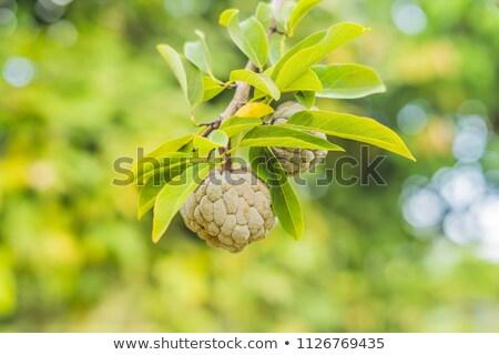Młodych cukru jabłko krem rozwój drzewo Zdjęcia stock © galitskaya
