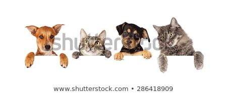 кошки · котенка · горизонтальный · пустую · карту - Сток-фото © lightsource
