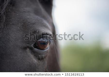 Left brown eye with eyelashes and short hair around of black mare Stock photo © pressmaster