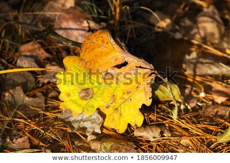 heap of foliage on ground maple and oak leaves stock photo © robuart