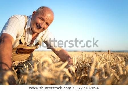 Gazda búzamező termény férfi mező dolgozik Stock fotó © HighwayStarz
