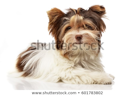 Studio shot of a cute Biewer Yorkshire Terrier puppy Stock photo © vauvau