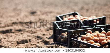 Banner of Plowed land and potato tubers in box. Agriculture Stock photo © Illia