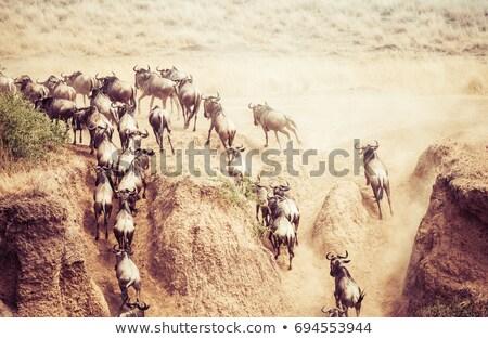 Herd of Gnu or Wildebeest Сток-фото © photoblueice