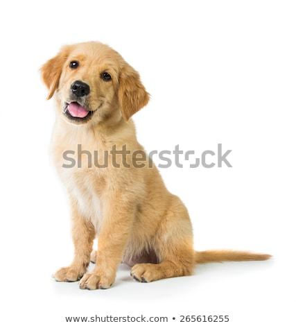 piccolo · golden · retriever · cucciolo · seduta · marciapiede - foto d'archivio © phbcz