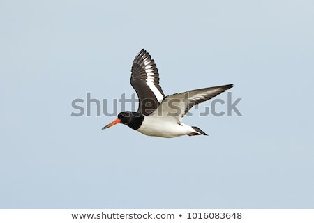 Eurasian Oystercatcher (Haematopus ostralegus) Stock photo © latent